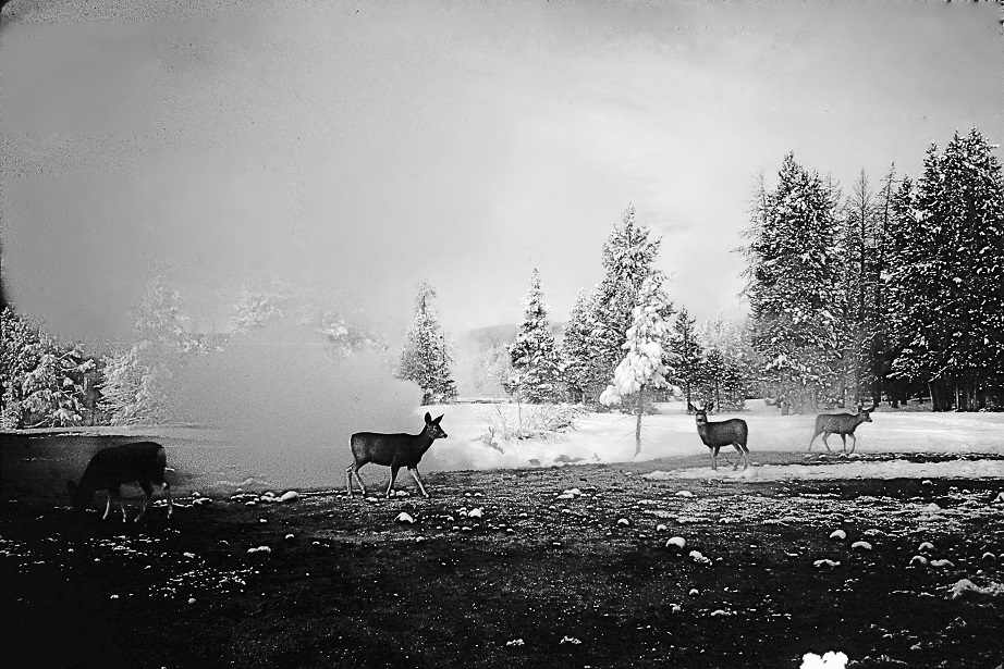 Deer At Yellowstone Black and White