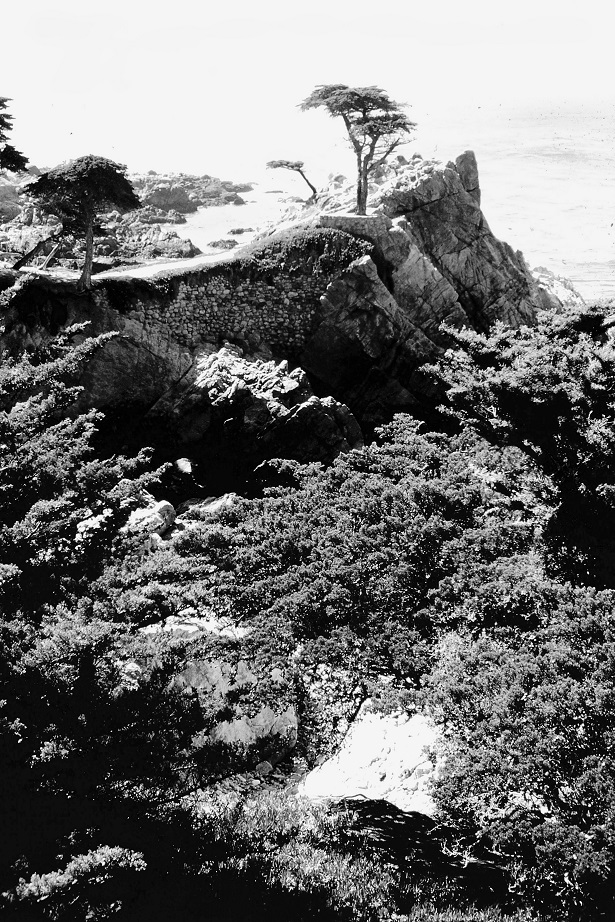 Monterey Cypress Tree Black and White